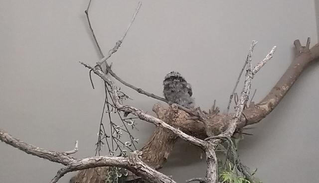 baby Tawny Frogmouth!