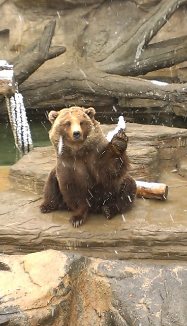 "This bear looks like she is waving ""hi"" but it's really called offering, because she really wanted her enrichment.  Also, dem claws!"