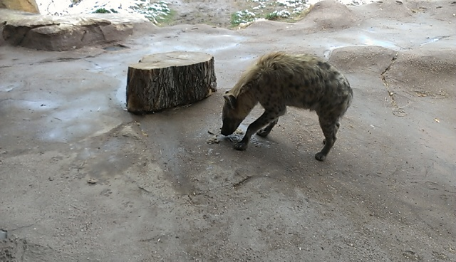 The hyena is picking the good stuff out of his own puke