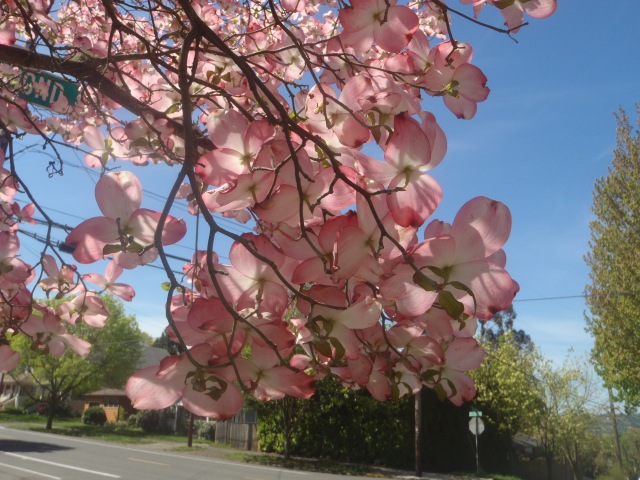 Dogwood blossoms; dogwoods are my favorite, but they don't grow where I live now