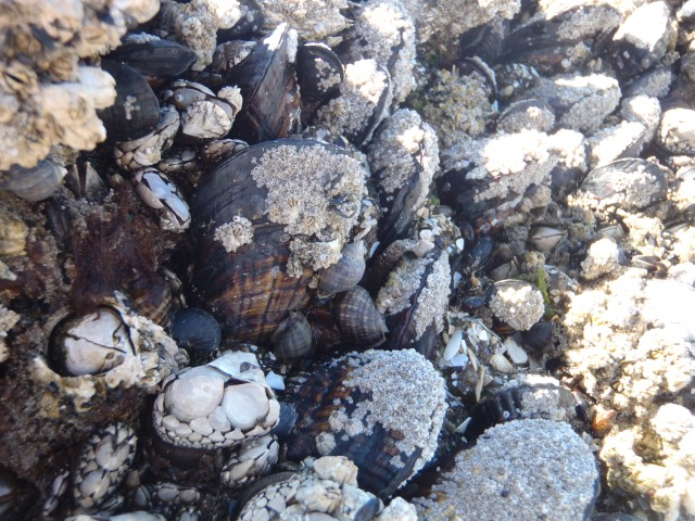 barnacles!  mussels!  snails!  limpets!